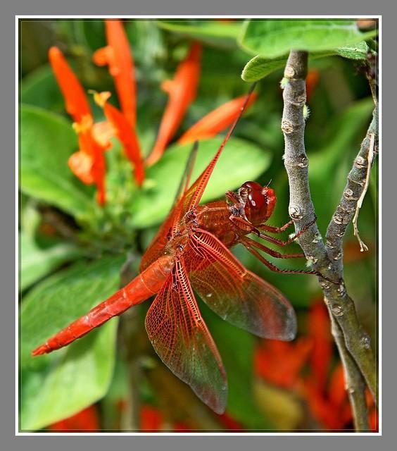 红蜻蜓_图1-6