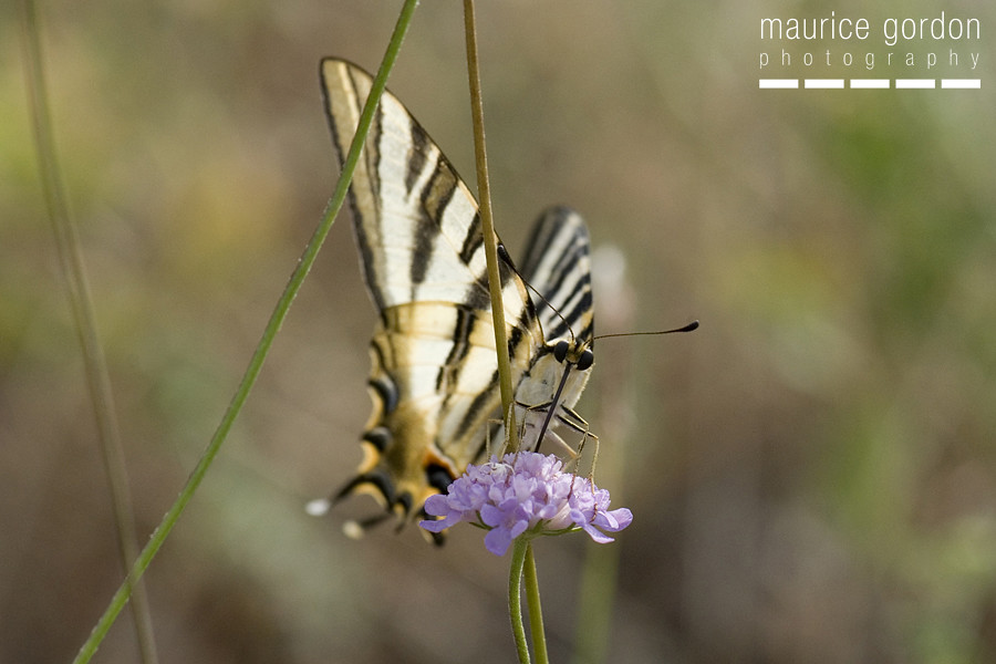 scarce swallowtail-ceret_DSC4751