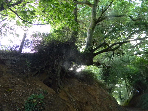 Gnarled tree in holloway