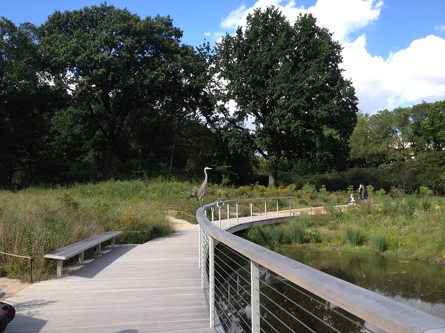 A great blue heron visits the Native Flora Garden's new bog. Photo by Sarah Schmidt.