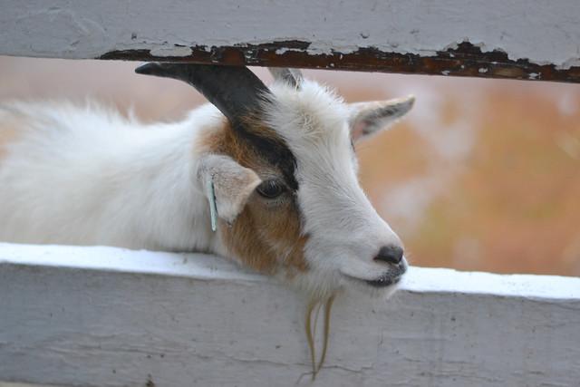 Goat boy