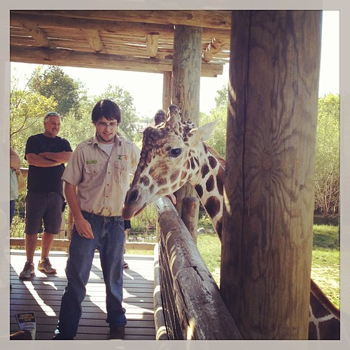 Giraffe getting annoyed that no one is offering him more lettuce. #giraffe #zoo #fortwayne #fortwaynezoo