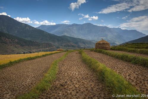 rice bhutan harvest stack