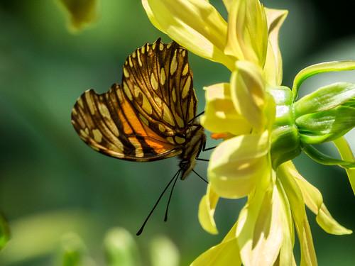 butterflies mariposa nymphalidae dionejuno mariposasdecolombia silverspottedflambeau butterfliesfromcolombia mariposaconmanchasplateadas heliconiajuno l1450411