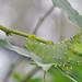 Cecropia Moth Caterpillar by Lerxst Ohio