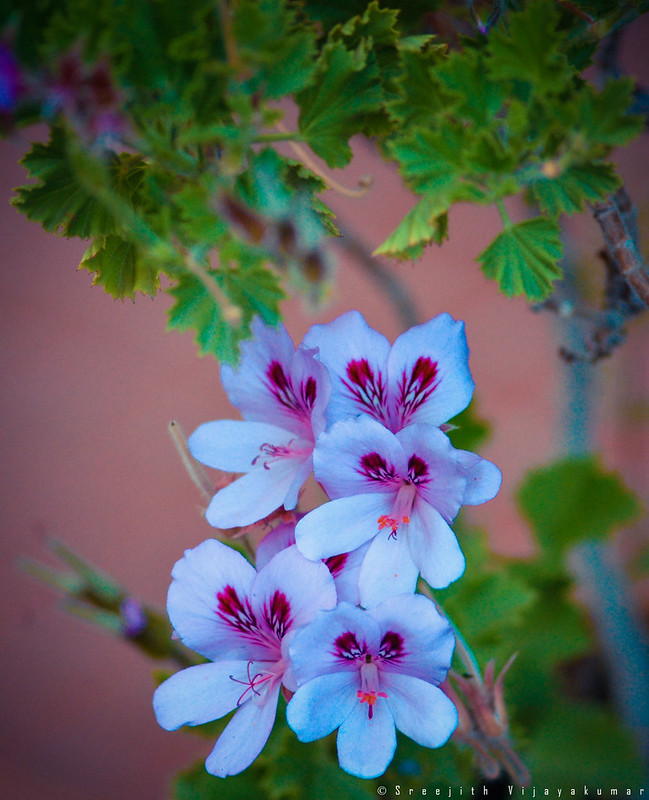 Flowers of Ladakh