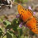 Gulf Fritillary Butterfly In My Garden 2015 - 10