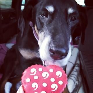 Yum! Got Valentine cookie? #dogstagram #dobiemix #dobermanmix #ilovemyseniordog #seniordog #ilovemydogs #ilovebigmutts