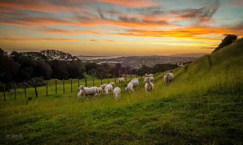 newzealand sheep auckland onetreehill diamondclassphotographer flickrdiamond