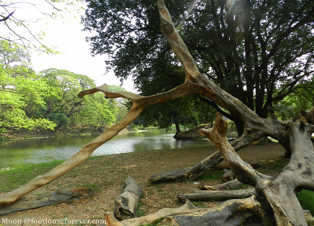 dread tree trunks - Shibpur Botanical Garden, #Kolkata
