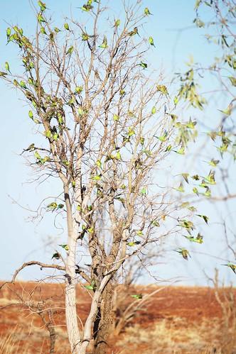 Budgerigar Tree