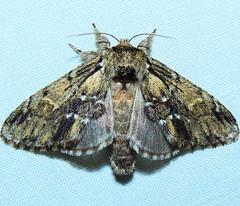 # 7917 – Hyperaeschra georgica – Georgian Prominent Moth