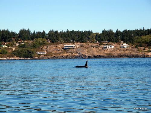 Orca III