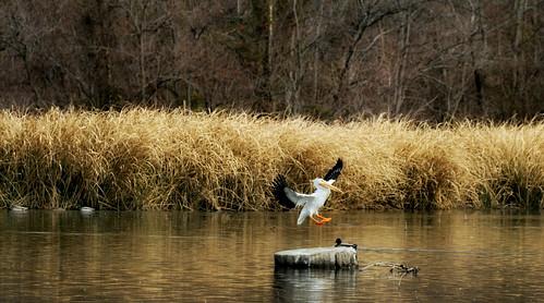 dallas texas pelican whiterocklake americanwhitepelican pelecanuserythrorhynchos sunsetbay canon7d canonef70300mmf456lisusmlens
