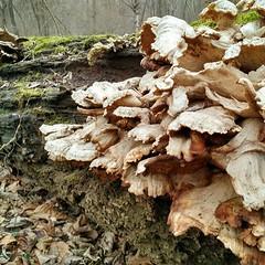 leaf(0.0), matsutake(0.0), wood(1.0), tree(1.0), medicinal mushroom(1.0), nature(1.0), oyster mushroom(1.0), mushroom(1.0), flora(1.0), geology(1.0), fungus(1.0), agaricomycetes(1.0), trunk(1.0), hen-of-the-wood(1.0), edible mushroom(1.0), autumn(1.0),