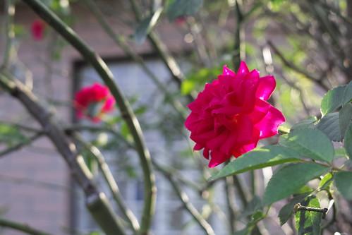 逆光のバラ