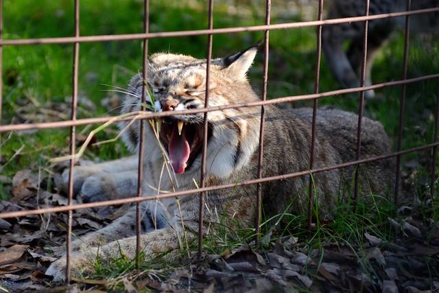 Bobcat Yawn