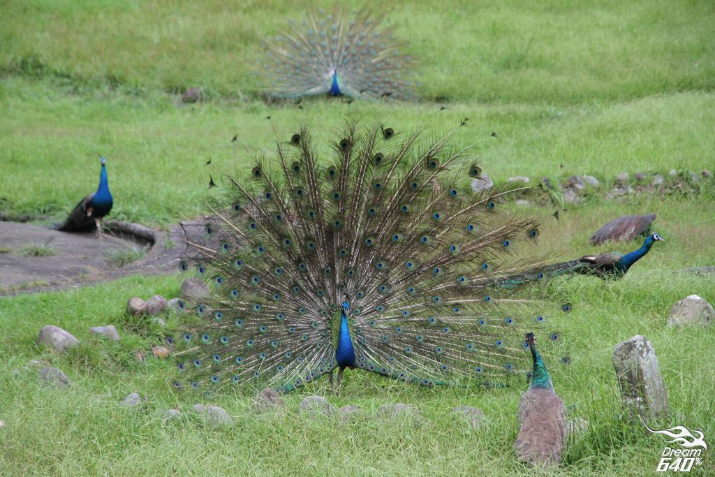 日月潭孔雀園 Sun Moon Lake Peacock15