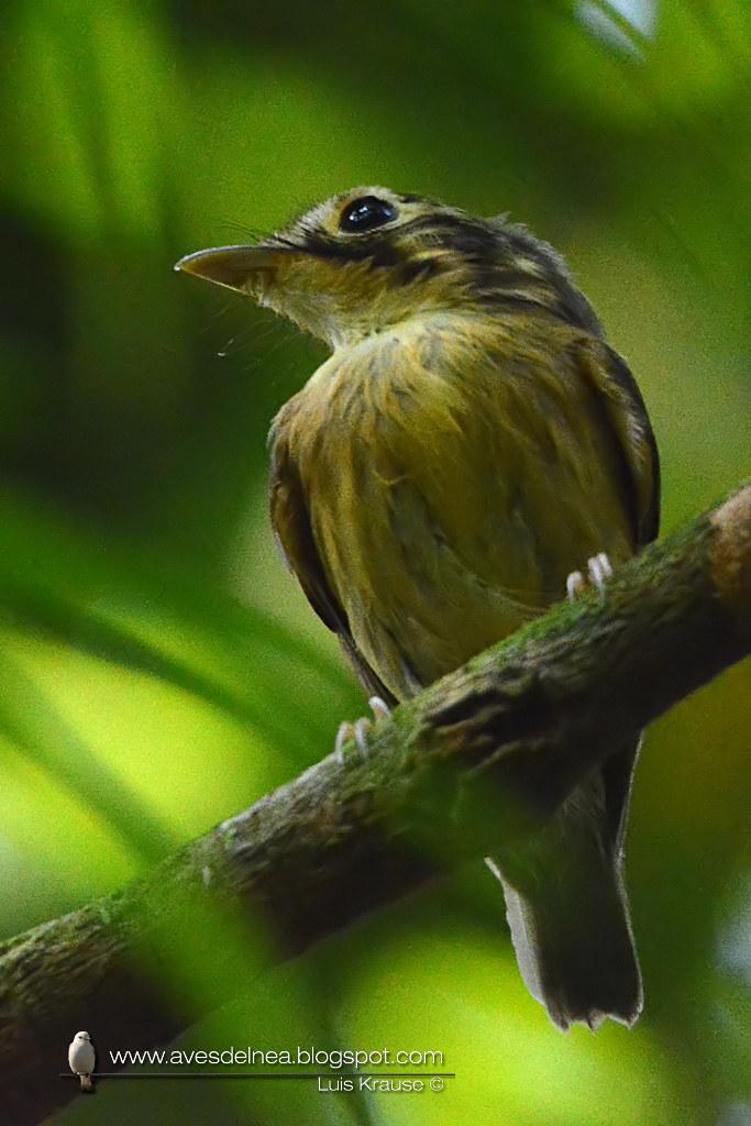 Picochato enano (White-throated Spadebill) Platyrinchus mystaceus