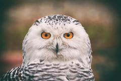 Сова Белая | snowy owl