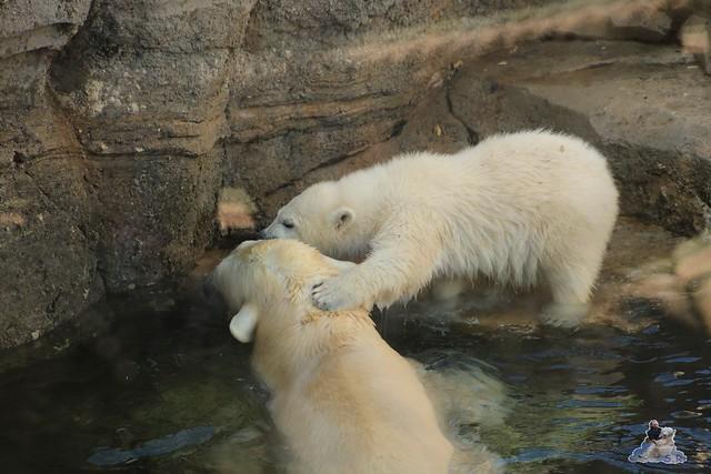 Eisbär Lili im Zoo am Meer Bremerhaven 14.05.2016 Teil 1 0178