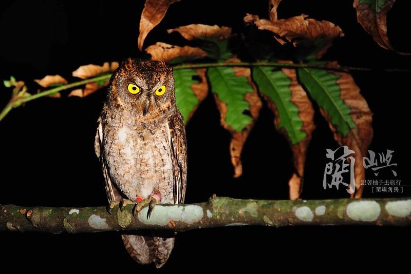 蘭嶼角鴞-夜觀