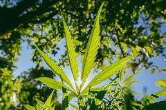Cannabis #176/365