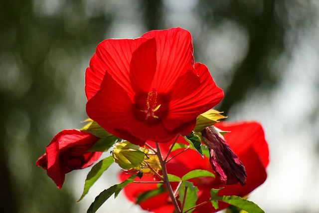 タイタンビカス/Hibiscus 'Taitan'