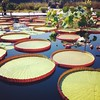 Lily Pads at Longwood