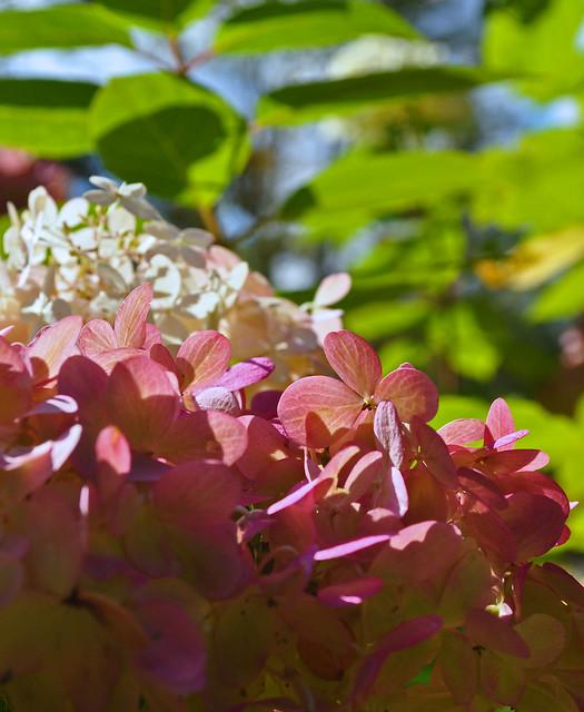 Hydrangea paniculata 'Limelight' (1)