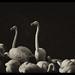 Three Flamingos Amigos by peterpics1