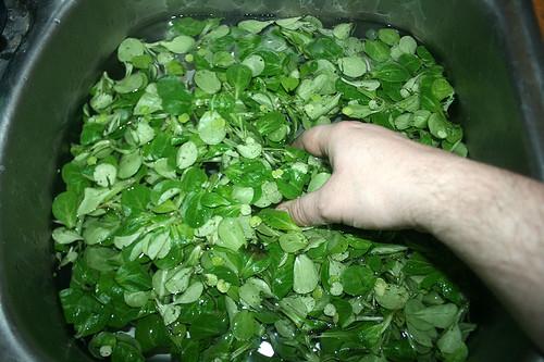 34 - Feldsalat waschen / Wash lamb's lettuche