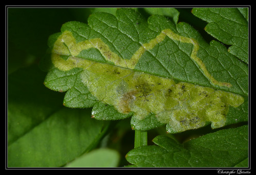 Mine et larve de Agromyza idaeiana sur Potentilla reptans