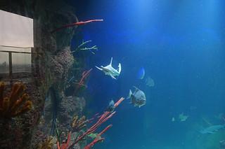 091 Hamerhaaien in Haus des Meeres