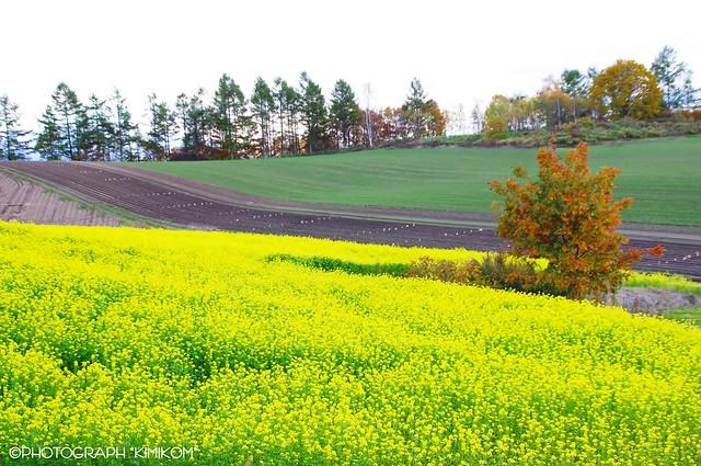 キガラシ畑