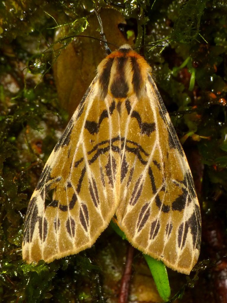 Hypercompe nemophila - Photo (c) Andreas Kay, algunos derechos reservados (CC BY-NC-SA)