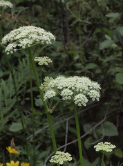 yarrow(0.0), apiales(1.0), flower(1.0), cow parsley(1.0), cicely(1.0), plant(1.0), subshrub(1.0), anthriscus(1.0), flora(1.0), angelica(1.0), meadowsweet(1.0),