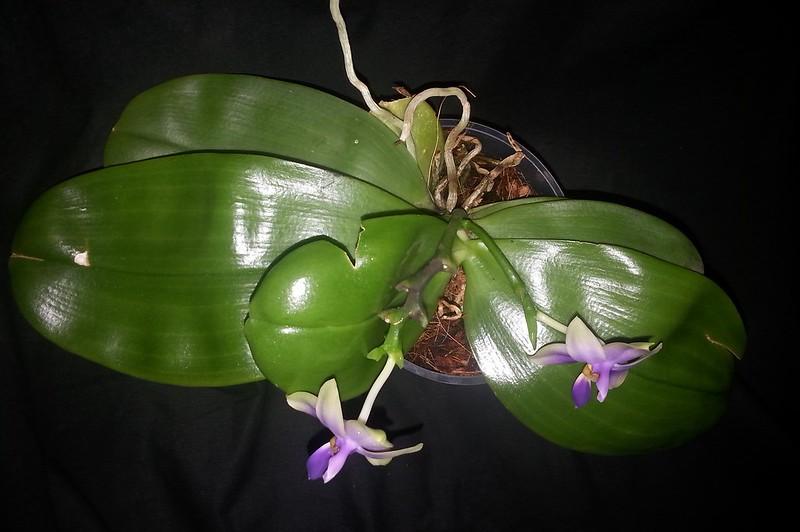 Phalaenopsis bellina x violacea (Samera) 15645488320_d8eaf88cf4_c