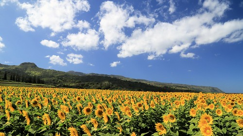 flower landscape hawaii sunflowers photosbymch