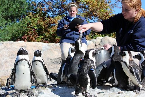 penguin aquarium penguins connecticut mystic africanpenguin spheniscusdemersus mysticaquarium blackfootedpenguin newlondoncounty blackfootedpenguins rogertorypetersonpenguinexhibit