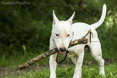 bulldog(0.0), dog breed(1.0), animal(1.0), dog(1.0), pet(1.0), bull terrier (miniature)(1.0), bull terrier(1.0), mammal(1.0), terrier(1.0),