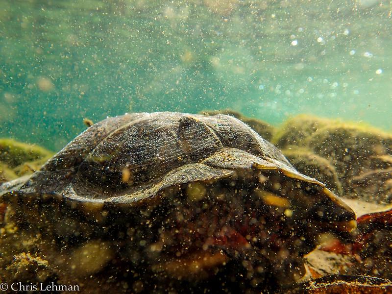 Underwater Wood Turtle
