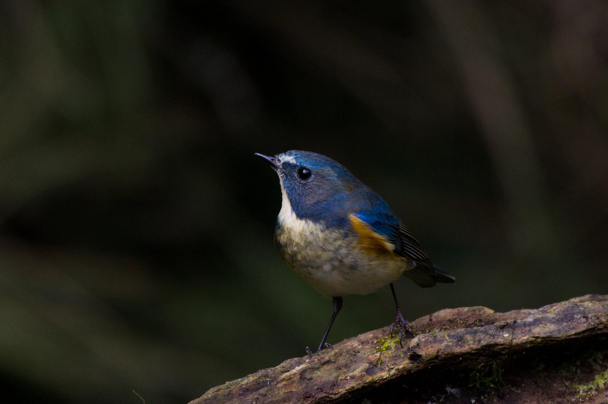 藍尾鴝暗黑背景版
