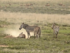 adventure(0.0), animal(1.0), prairie(1.0), zebra(1.0), plain(1.0), mammal(1.0), herd(1.0), fauna(1.0), savanna(1.0), grassland(1.0), safari(1.0), wildlife(1.0),