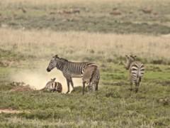 animal, prairie, zebra, plain, mammal, herd, fauna, savanna, grassland, safari, wildlife,