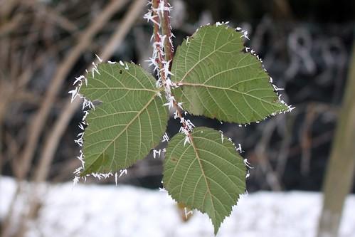 Frost-rimmed II