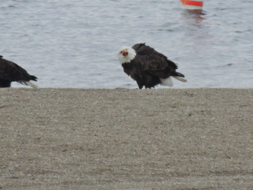 Bald Eagle protesting off leash dog