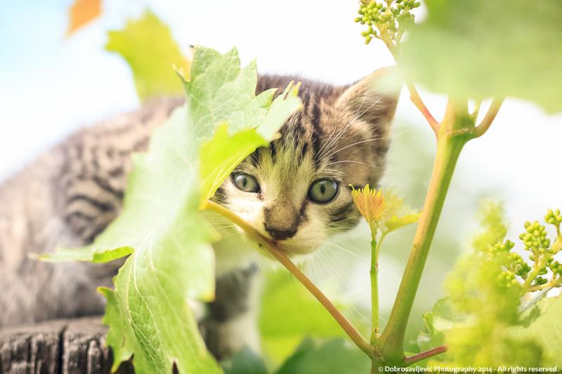 Motiv fotografiranja: mačke - Page 6 16045268281_9935e7bc32_c