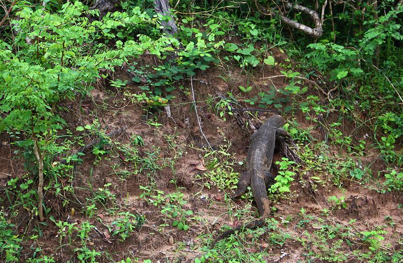 Waran lizard - Yala National Park