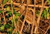 White-backed Night-heron (Calherodius leuconotus) Imm